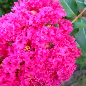 Close-up of a crepe myrtle tree in our backyard. :-)