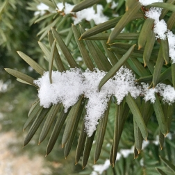 snowy-bush