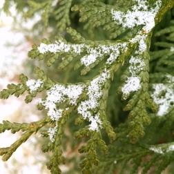 snowy-pine-2